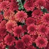 Mums and More